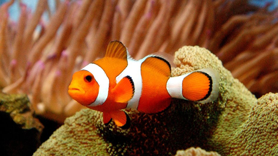 Bryson DeChambeau's pet clownfish, Nemo, named after Nemo from Finding Nemo
